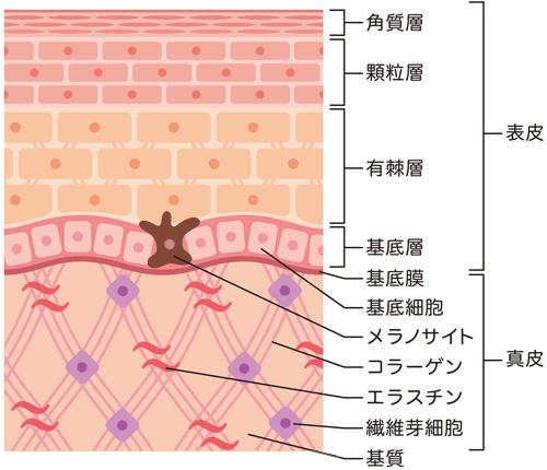 真皮の構造と働き