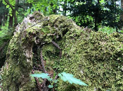 御岩神社:木が倒れた後に生えた苔