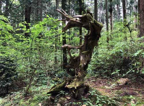 御岩神社:ドラゴンのような形の木
