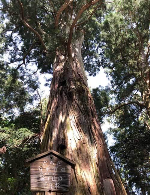 鷲子山上神社:千年杉